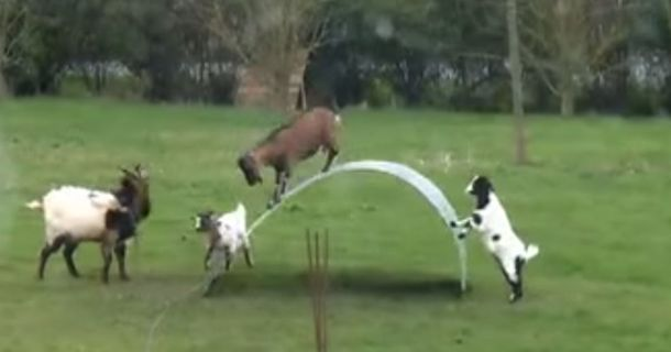 Watch A Bunch Of Goats Adorably Bounce Across This Metal Sheet